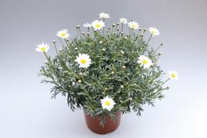 Argyranthemum Frutescens ø 19 cm