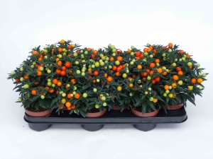 Solanum Pseudocapsicum ø 10,5 cm